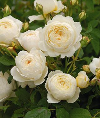 Rose, Claire Austin PP19465, , large