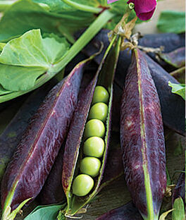 Pea, Purple Podded, , large