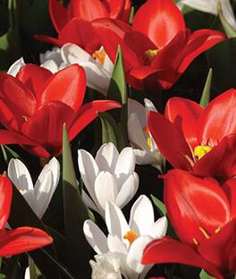 Mix, Tulip Showwiner  and Crocus Jeanne d'Arc , , large