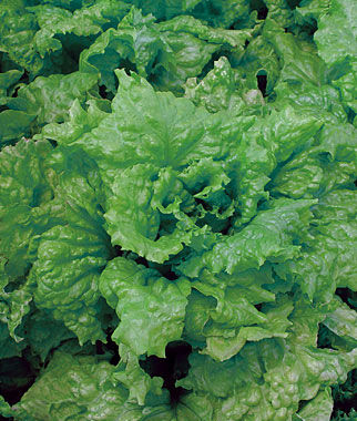 Lettuce, Black Seeded Simpson, , large