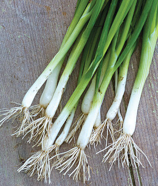 Scallion Evergreen Long White Bunching Onion Seeds and ...