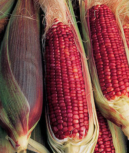 Corn, Ruby Queen Hybrid, , large