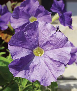 Petunia, Sky Blue 6 Plants, Annuals, Annual Flowers, Annual Flower Plants, Flower Plants, Flowering Annuals, Bedding Plants