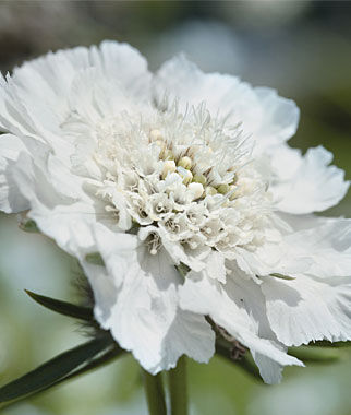 Scabiosa, Fama White, , large