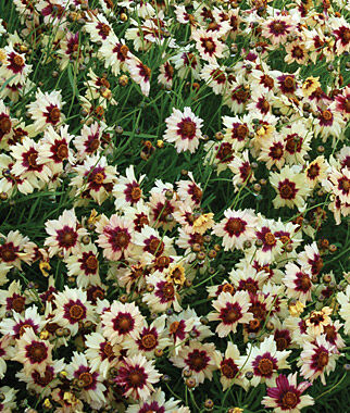Coreopsis, Autumn Blush, , large