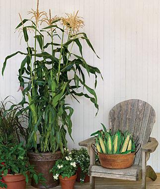 ... Cheyenne Hybrid · Corn, On Deck Hybrid