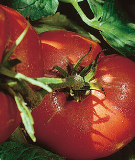 Tomato, Arkansas Traveler, , large