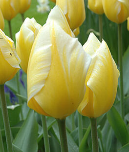 Tulip, Sweetheart, , large