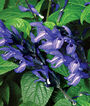 Salvia, Black & Blue, , large