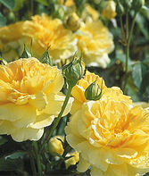 English Rose, Molineux, , large