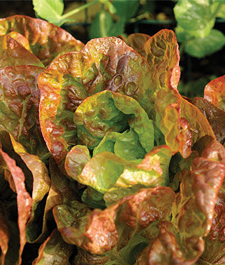Lettuce, Four Seasons Organic , , large