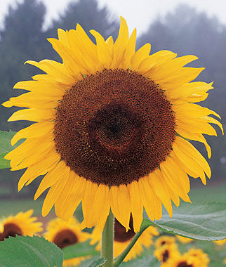 Sunflower, Kong Hybrid, , large