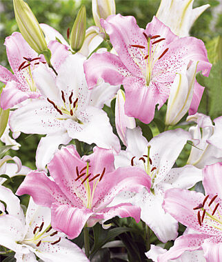 Lily, Fragrant Wedding Bells, , large