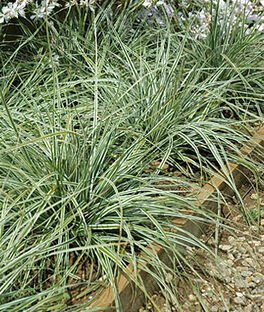 Ornamental grasses grow purple love grass perennial for Short perennial grasses