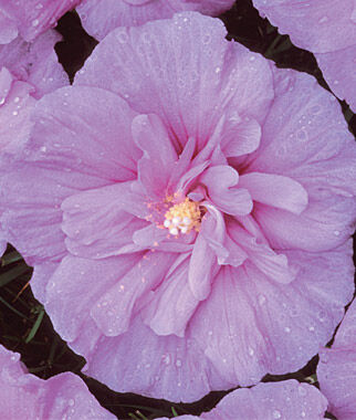 Hibiscus, Lavender Chiffon PP12619, , large