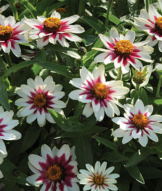 Zahara Starlight Rose Zinnia Seeds And Plants Annual