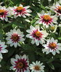 Zinnia, Starlight Rose, , large
