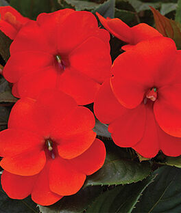 Impatiens, SunPatiens Electric Orange, , large