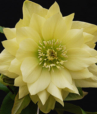 Hellebore, Golden Lotus, , large