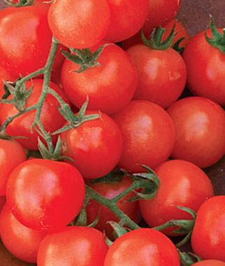 Tomato, Sweetie Organic 1 Pkt. (75 Seeds), Cherry Tomato Seeds, Currant Tomato Seeds, Grape Tomato Seeds, Cherry Tomato, Tomato Seeds