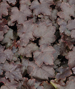 Heuchera, Blackout PP 20,613, , large