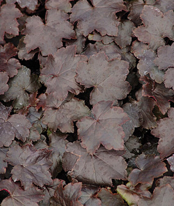 Heuchera, Blackout PP