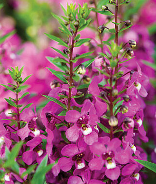 Angelonia, Serenita Raspberry, , large