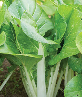 Chinese Cabbage, Pak Choi, White Choi, , large