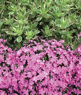 Creeping phlox, Pink , , large
