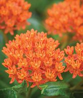 Asclepias tuberosa, Butterfly Weed, , large