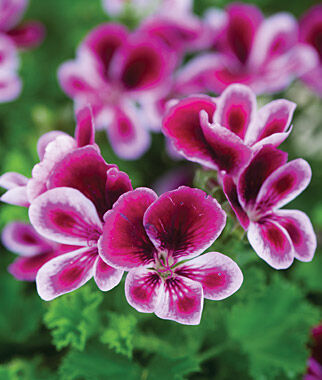 Geranium, Angel's Perfume 3 Plants, Annuals, Annual Flowers, Annual Flower Plants, Flower Plants, Flowering Annuals, Bedding Plants