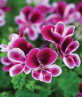 Geranium, Angel's Perfume, , large