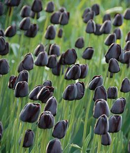 Tulip, Queen Of Night, , large