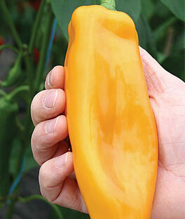 Pepper, Sweet Big Daddy Hybrid, , large