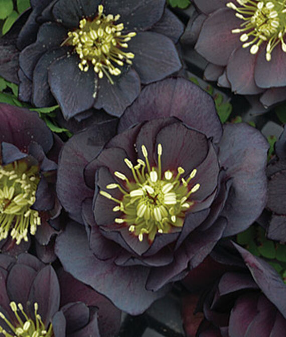 Helleborus, Wedding Party Dark and Handsome