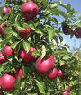 Apple, Crimson Crisp ™, , large