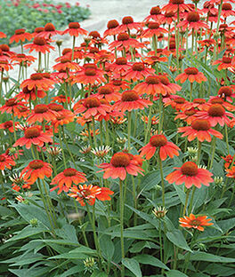 Echinacea, Sombrero Hot Coral, , large