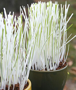 Cat Grass, Variegated, , large