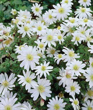 Anemone, White Splendour, , large