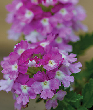 Verbena, Twister Purple 3 Plants, Annuals, Annual Flowers, Annual Flower Plants, Flower Plants, Flowering Annuals, Bedding Plants
