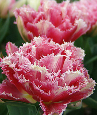 Tulip, Cool Crystal, , large
