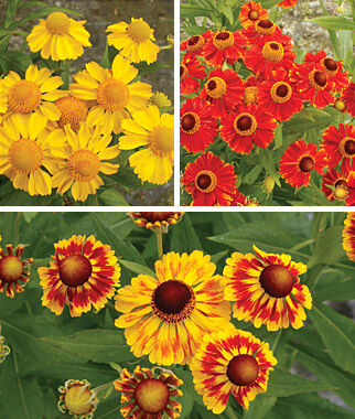 Helenium, Pinwheel Collection, , large