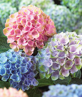 Hydrangea, Everlasting ™  Revolution PPAF, , large