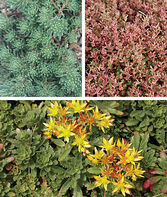 Sedum, Ground Cover Collection, , large