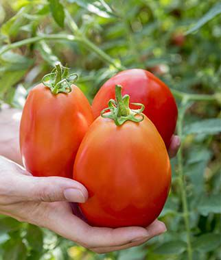 tomato, gladiator hybrid  burpee, Natural flower