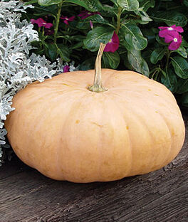 Pumpkin, Long Island Cheese, , large