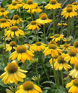 Echinacea, Sombrero Lemon Yellow, , large