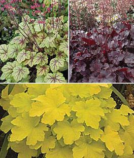 Heuchera, Tricolor Collection, , large