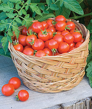 Tomato, Baxter's Bush Cherry Organic 1 Pkt. (40 Seeds) Tomato Seeds, Early Tomatoes, Early Tomato Seeds, Tomato Plants, Short Season Tomatoes, Garden Seeds