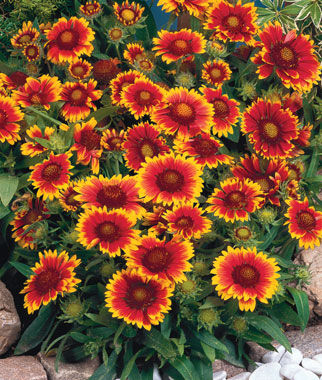 Arizona Sun Gaillardia Seeds And Plants Perennnial